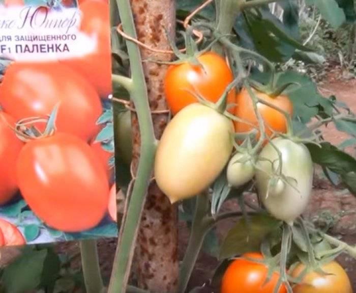 Описание и характеристика томатов «паленка»