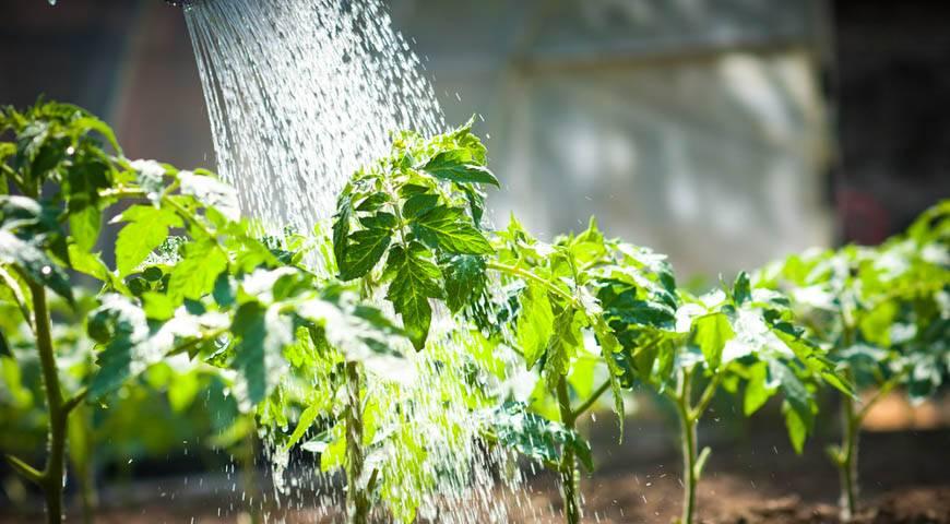 Как часто поливать огурцы в теплице