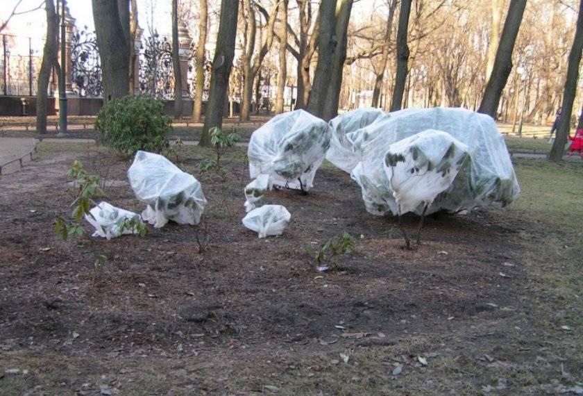 Выбор сорта, посадка и уход за рододендроном в ленинградской области