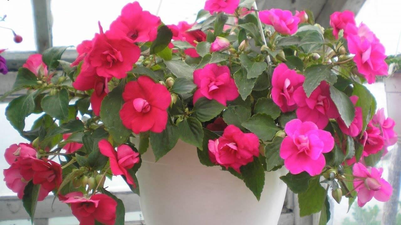 Бальзамин садовый («огонек», «ванька мокрый») — яркое и роскошное растение. сажаем и ухаживаем.