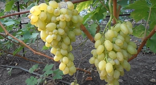 Мускатный виноград столетие: крупноплодный кишмишевый сорт