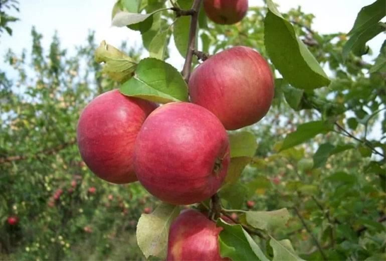 Описание иммунного сорта яблони веньяминовское