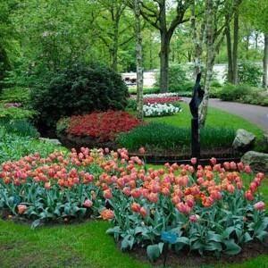 Когда и как сажать тюльпаны осенью в открытый грунт?