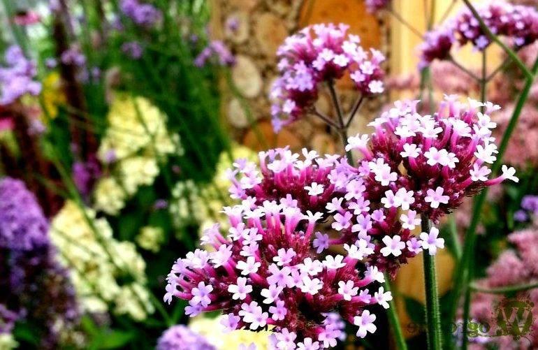 Инструкция по посадке многолетней вербены, фото и нюансы выращивания цветка и правильный уход