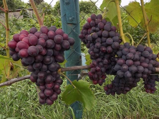 Виноград сенатор павловского и его описание
