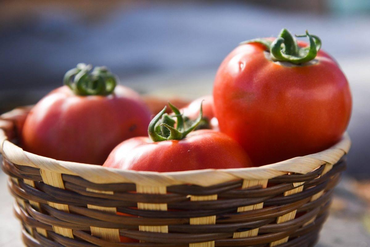 Томат очарование: описание и характеристика сорта, выращивание и уход с фото