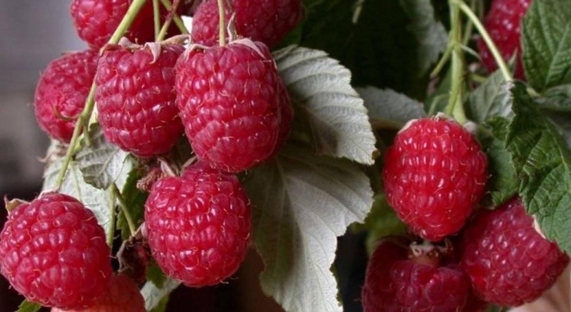 Малина гусар: как вырастить хороший урожай