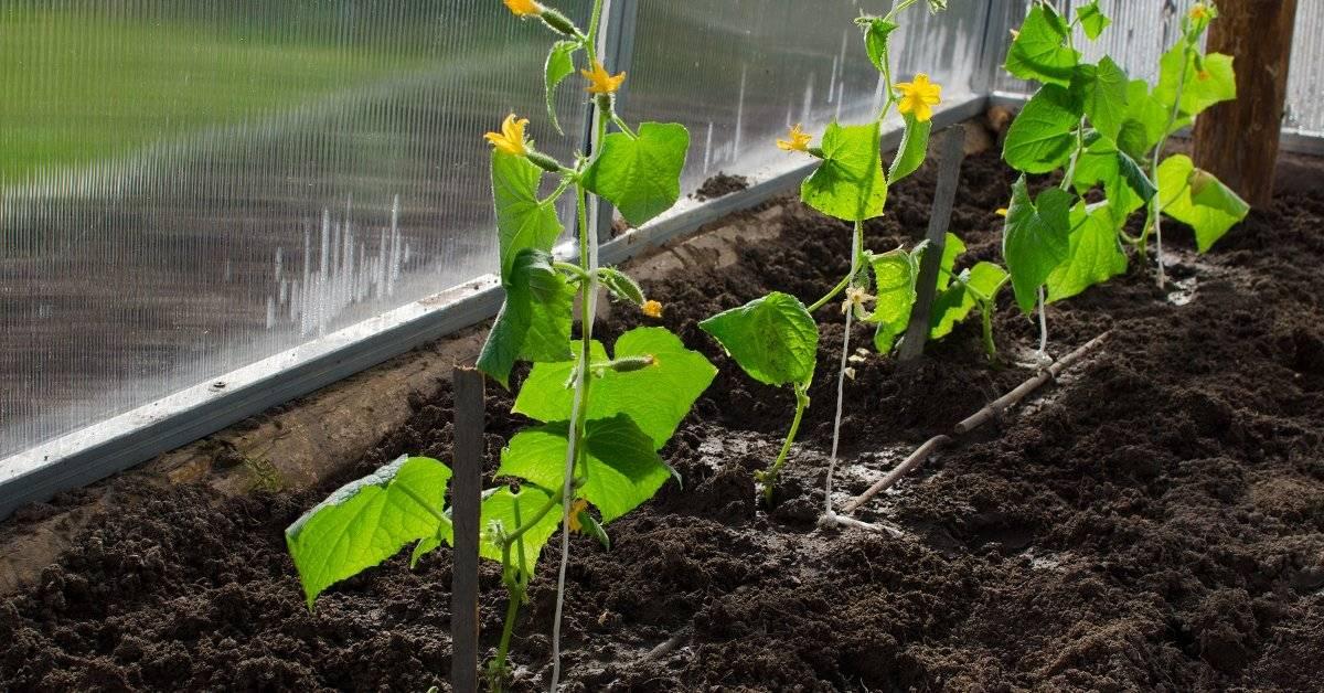 Как вырастить щедрый урожай огурцов в теплице из поликарбоната