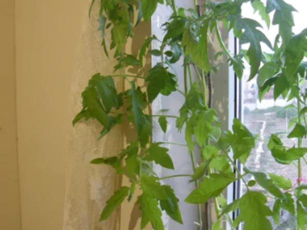Способ не для ленивых: выращиваем томаты по методу терёхиных