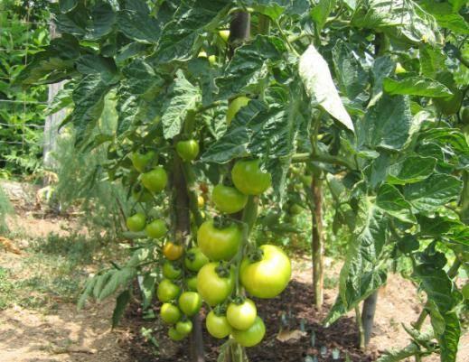 Описание сорта томата северный румянец и его характеристики – дачные дела