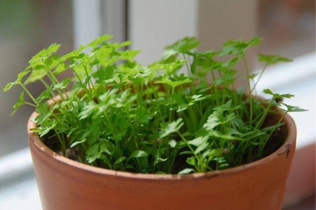 Все о посадке петрушки весной в открытом грунте или дома. каким должен быть уход в первое время?