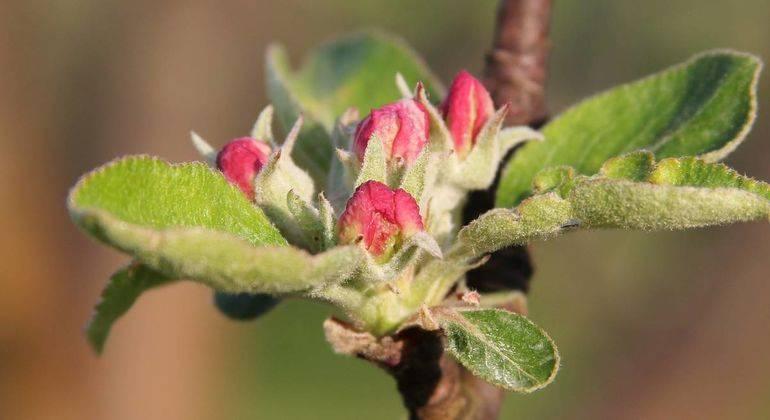 Советы профессионалов, как укоренять ветки яблони
