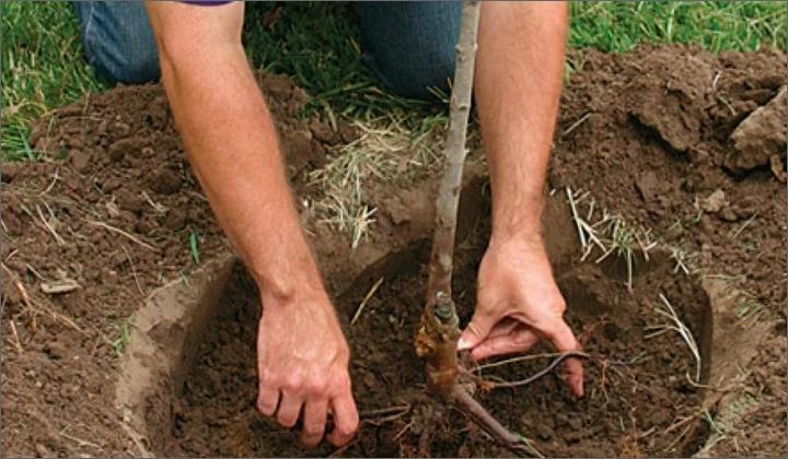 Как правильно посадить и ухаживать за вишней