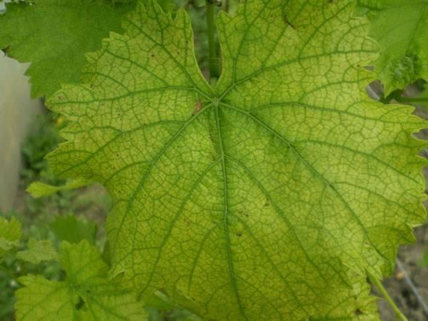 Что делать, если на листьях винограда появились красные пятна, как бороться и чем обработать