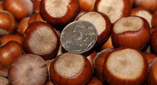 Описание и характеристики фундука сорта трапезунд, тонкости выращивания
