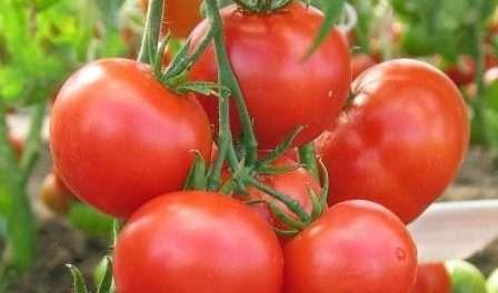 Ультраранний урожайный томат любаша: характеристики и описание сорта