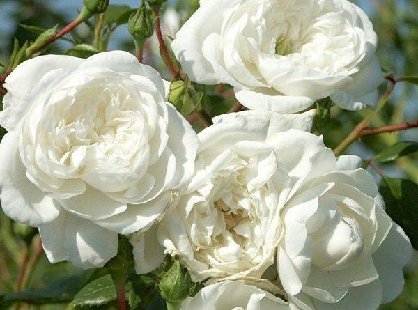 Роза чг альянс — описание сорта, особенности агротехники