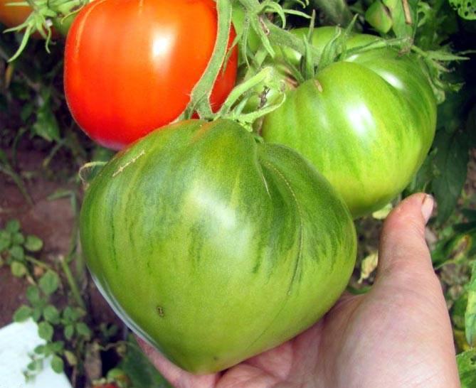 Томат 33 богатыря: описание сорта с фото, урожайность, отзывы