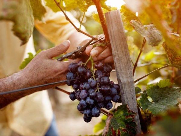 Как размножить дикий виноград