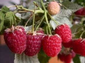 Лучшие сорта малины для средней полосы россии и подмосковья
