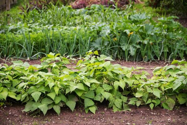 Что можно посадить после томатов и перца и чем уплотнить посадки
