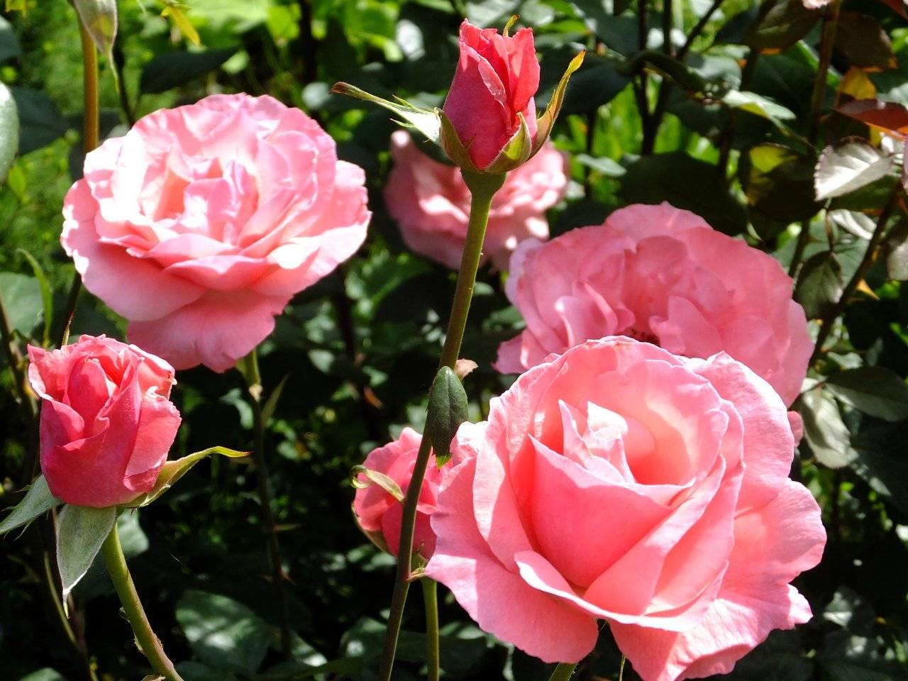 Описание лучших сортов роз: классификация, фото
