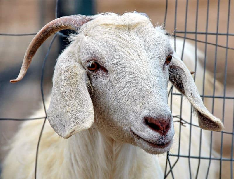 Заразные и незаразные виды болезней у овец