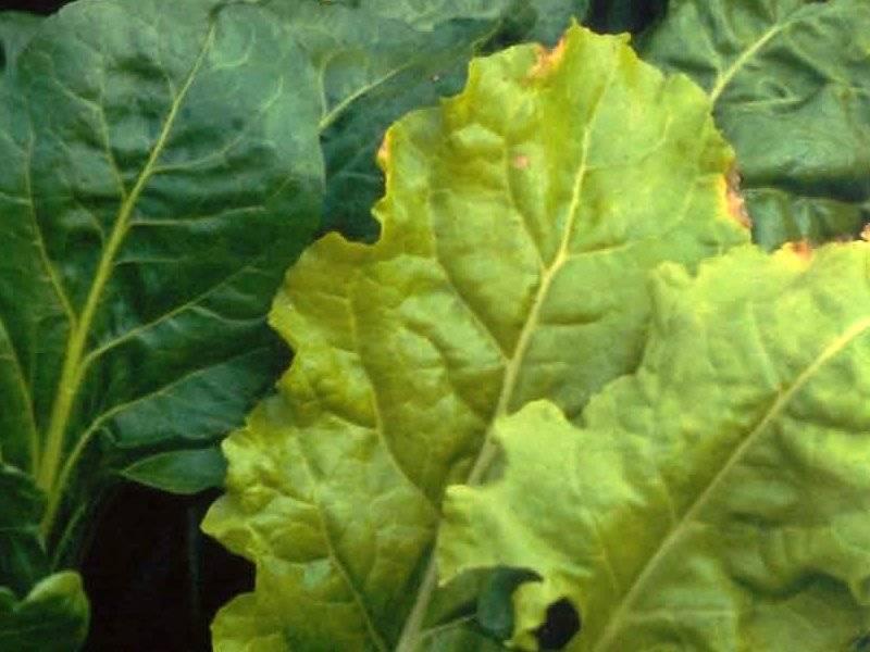 Желтеют и сохнут листья свеклы: что делать и чем полить ботву