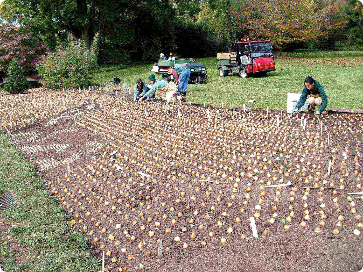 5 главных ошибок при посадке тюльпанов осенью