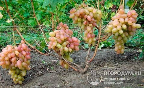 Виноград «тимур»: описание сорта, фото и отзывы