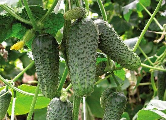 Урожайные сорта огурцов, которые можно посадить в тени