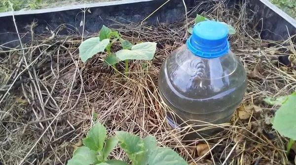 Капельный полив для огурцов из пластиковых бутылок своими руками