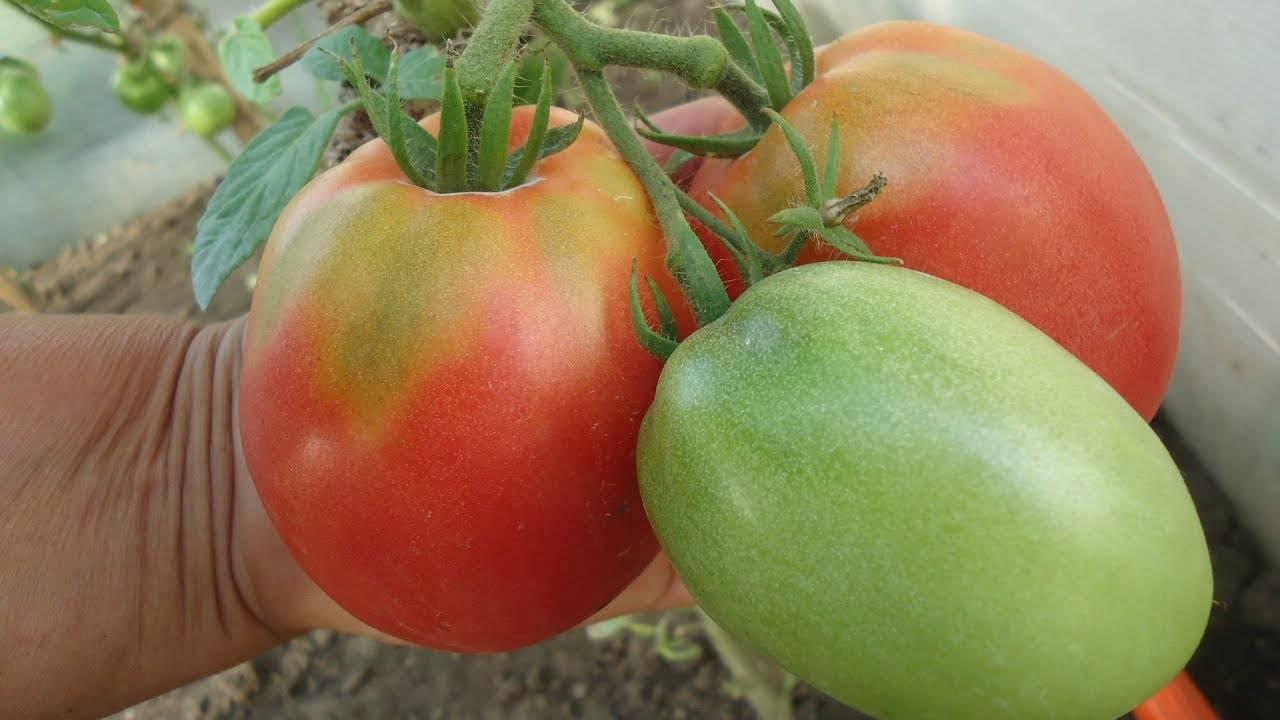 Томат верлиока: характеристики и описание сорта. выращивание и уход за верлиокой (видео + 110 фото)