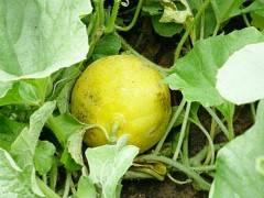 Самые опасные болезни овощей – фото, описания и меры борьбы в таблицах