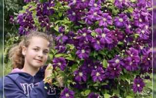Клематисы на урале: выращивание мелкоцветковых сортов