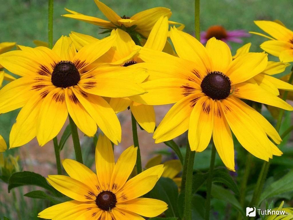 Рудбекия: видовое разнообразие цветка и правила агротехники