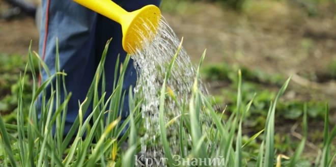 Полив лука и чеснока солью для богатого урожая