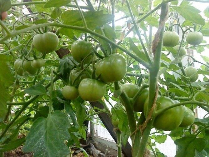 Почему выращивание томатов по методу маслова вновь становится популярным