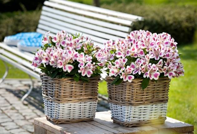 Цветок альстромерия: выращивание