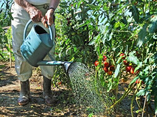 Как часто надо поливать помидоры в теплице