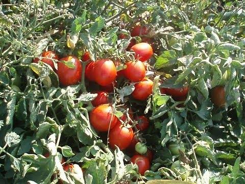 Как выращивать помидоры в открытом грунте — технология выращивания