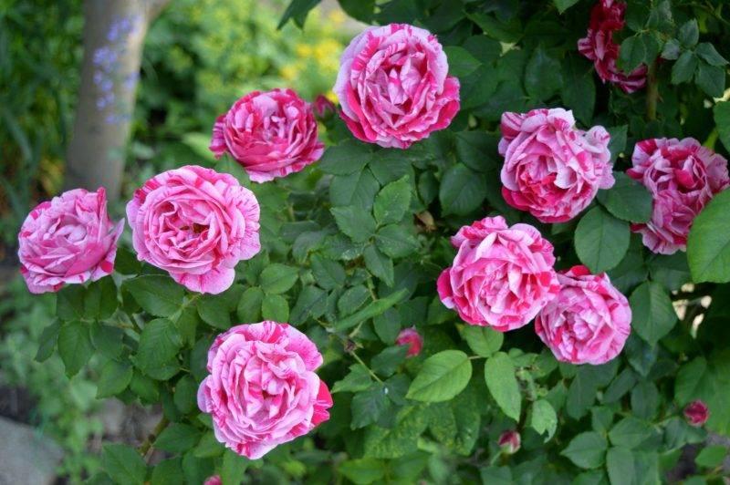Роза чиппендейл — зрелище, которое лишает чувств