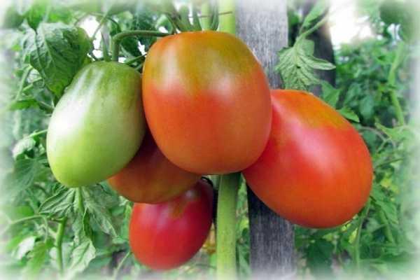Новичок с красивым внешним видом — томат искра пламени: описание сорта и его характеристики
