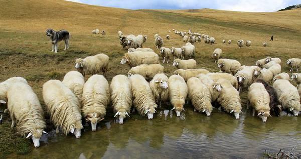 Породы овец мясного направления: самые выгодные и крупные