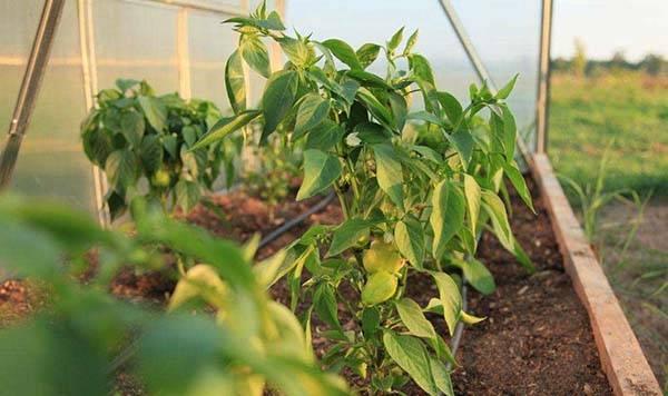 Грамотный полив болгарского перца способствует хорошему урожаю