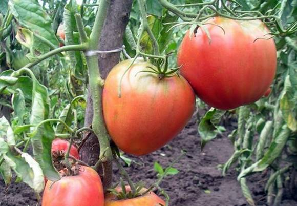 Яркий ранний помидор с крупными плодами — томат «король рынка» и секреты его выращивания от опытных огородников