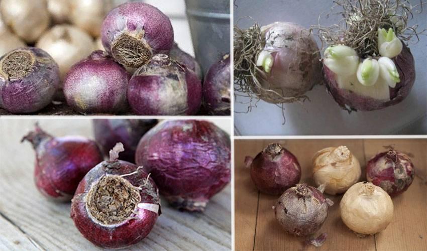 Как в домашних условиях хранить луковицы гиацинтов, когда выкапывать и нужно ли