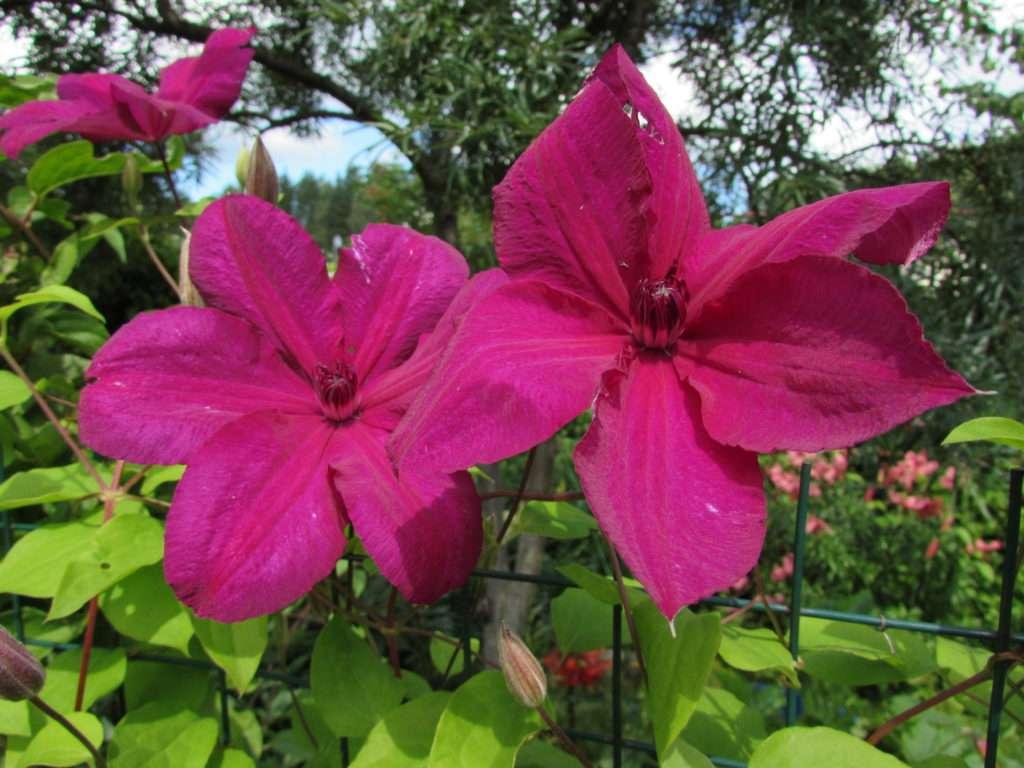 Клематис «кардинал вышинский»: описание, посадка, уход и размножение