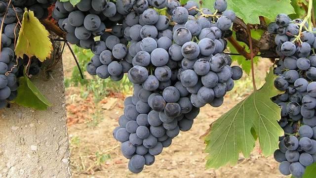Правила ухода, обрезки, посадки винограда при выращивании на даче