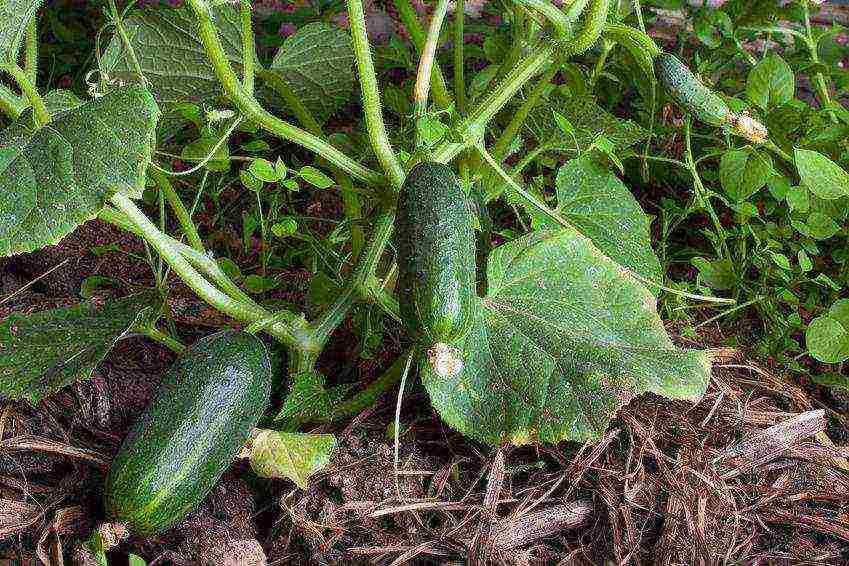 Рассада огурцов – когда и как правильно сажать в грунт